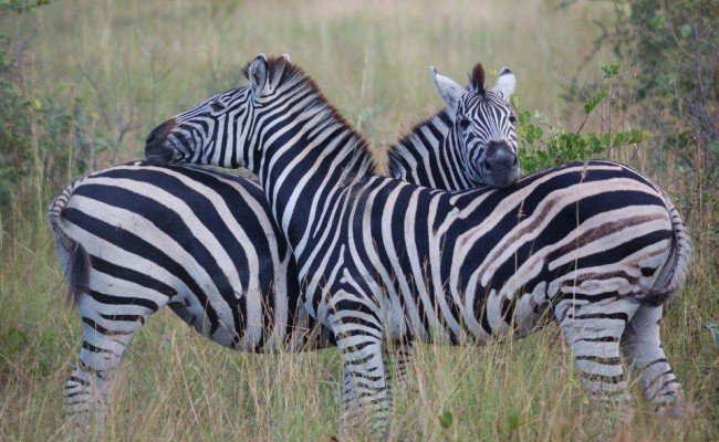 Zebra Kopie